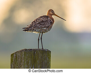 Alert Black-tailed Godwit on post with pastel colored...
