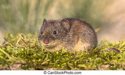 Bank vole in natural habitat - Bank vole (Myodes glareolus;...
