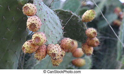 Hornets lands on prickly pear - Shot of Hornets lands on...