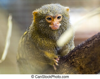 Pygmy marmoset on a tree - Pygmy marmoset, the smallest...