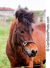 Close up of brown cute shetland pony portrait