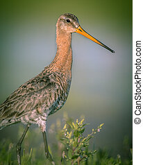 Majestic Black-tailed Godwit wader bird looking in the...