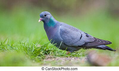 Stock dove in a lawn