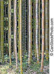 giant forest bamboo