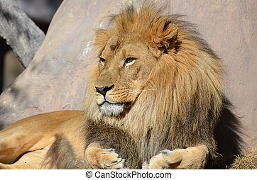 Beautiful Golden African Lion Relaxing in the Sunshine -...