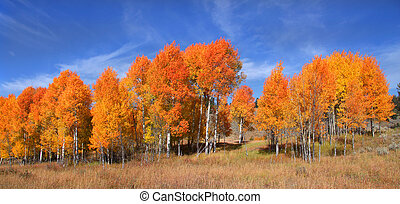 Aspen trees - Panoramic view of many bright colored Aspen...
