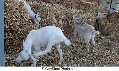 Goats eating hay - Shot of Goats eating hay