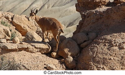 Goat-antelopes climbing on rocks - Shot of Goat-antelopes...