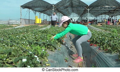 Girl in green shirt picking strawberries - Shot of Girl in...