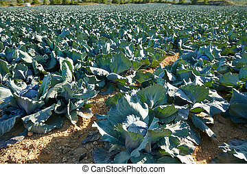 cabbage field in Serranos area of Valencia Spain