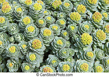 Rhodiola rosea background - Rhodiola rosea plants outdoors...