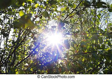 por, árbol, aliso, luz del sol