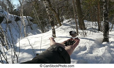 Birds in men's hand eat seeds - Nuthatch and titmouse birds...
