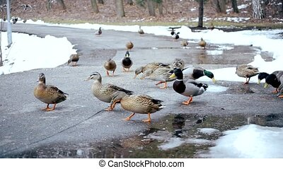 Flock of wild ducks being fed in winter in a park