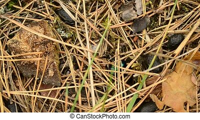 Green dor beetle crawling on ground in autumn forest. Macro...