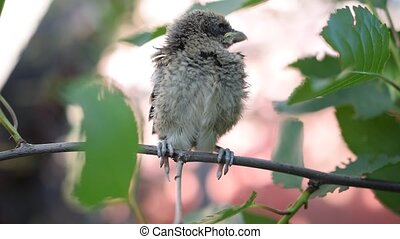 Whitethroat fledgeling perching on green tree twig - Closeup...