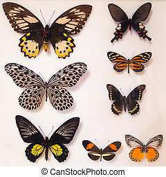 Butterfly collection under glass. - Colorful butterfly...
