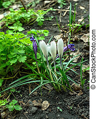 white blue Crocus on ground - The white and blue Crocus on...