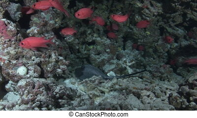 Sea stingray on background school of red fish and corals underwater in Maldives.