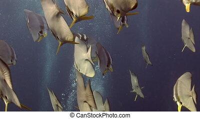 Angel butterfly school of fish underwater in sea of Maldives.
