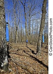 Collecting maple sap - Blue bag hangs from a maple tree as...