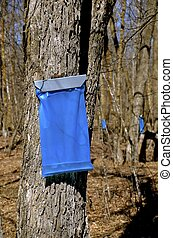 Collecting maple syrup - Blue bag hangs from a maple trees...