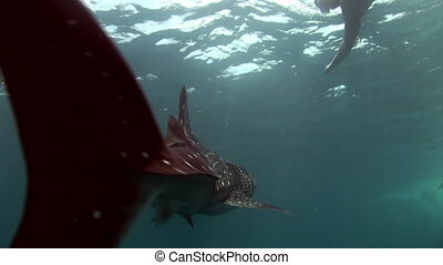Whale shark sea on background of clean clear blue water of...