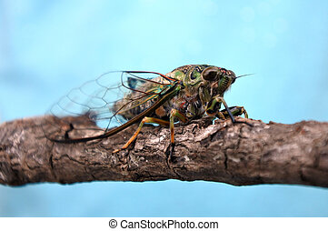 Annual cicada, Neotibicen linnei.Cicada have been used in...