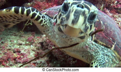 Sea tortoise turtle on background colorful corals underwater...