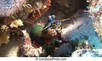 Langoust spiny lobster on background colorful corals underwater on bottom sea.