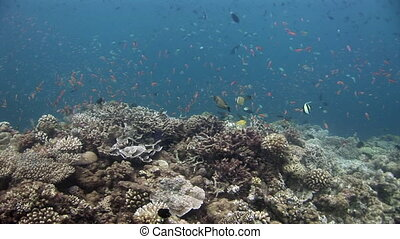 School of fish on background colorful corals underwater in sea of Maldives.
