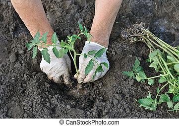 farmer planting a tomato seedling in the vegetable garden