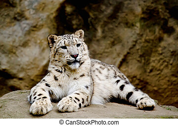 Snow Leopard Irbis Panthera uncia looking ahead - Snow...