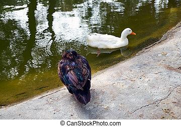 Two ducks, dark and white in Reina Sofia Park, Guardamar del Segura. Spain.