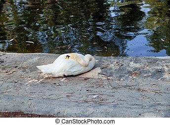Mute swan resting in the grass in Reina Sofia Park, Guardamar del Segura. Spain.
