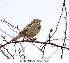 Corn bunting bird perched on a twig in a bush