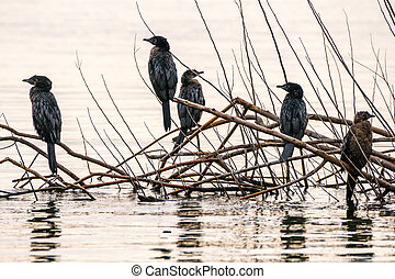 Group of juvenile cormorants - A group of juvenile...
