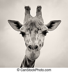 vintage sepia toned image of a Giraffes Head in the wild...