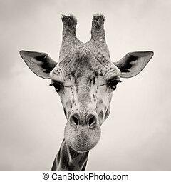 vindima, sepia, toned, imagem, girafas, cabeça