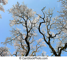 panoramic image of the old oak trees in the  winter