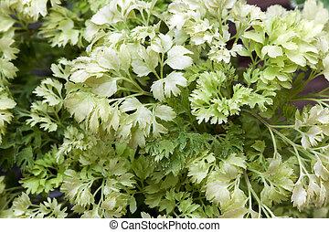 Closeup Polyscias Ornamental plants - Ecological Concept...