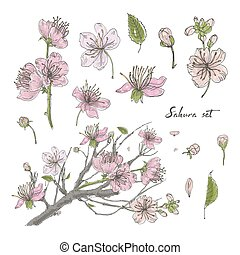 Realistic sakura hand drawn set with buds, flowers, leaves, branch. Colorful vintage style illustration.