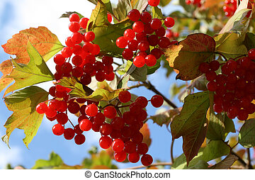 Viburnum Opulus - Autumn - seasonal image Fruit and leaves...