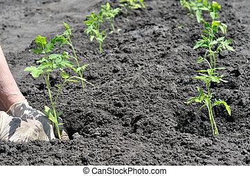 farmer's hands planting a tomato seedling - farmer's hands...