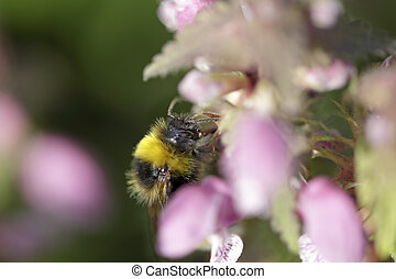 Bumblebee sucking pollen and nectar from nettle flowers....
