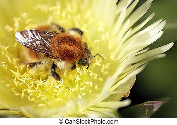 Bumblebee sucking pollen