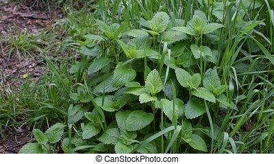 Green lemon balm and grass blades swaying in wind. Melissa...
