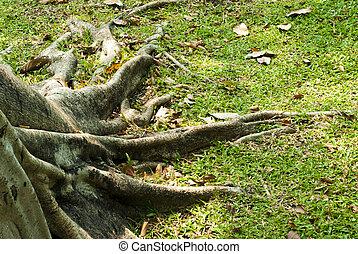 Banyan roots - Expand Roots of Banyan tree