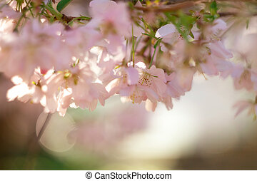 Abstract blurred background with blooming cherry.