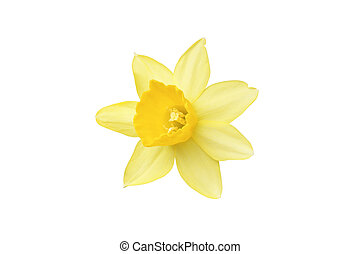 The flower is daffodil yellow. Isolated on white.
